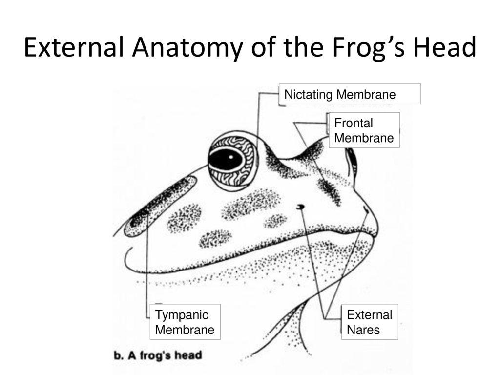 Frog Diagram External Head - Find Wiring Diagram •