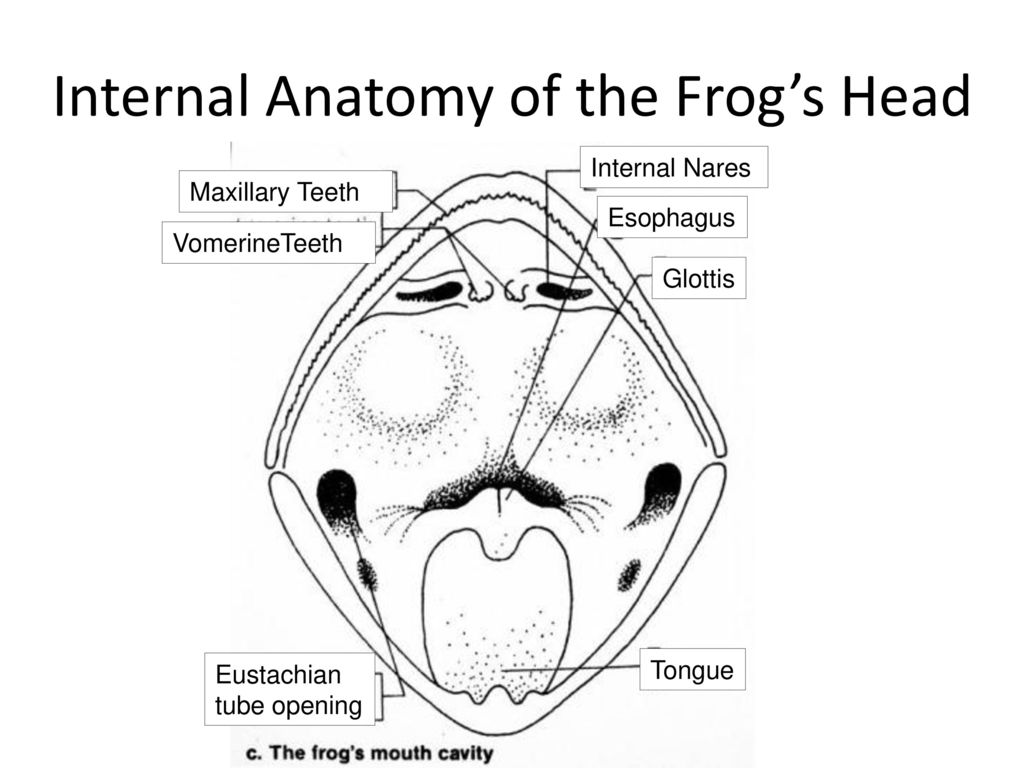 Perfect Internal Anatomy Of A Frog Model Physiology Of Human Body