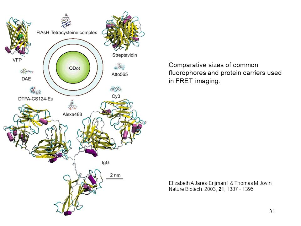 Comparative sizes of common fluorophores and protein carriers used in FRET imaging.
