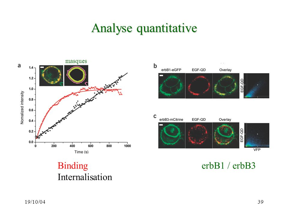Analyse quantitative Binding erbB1 / erbB3 Internalisation masques