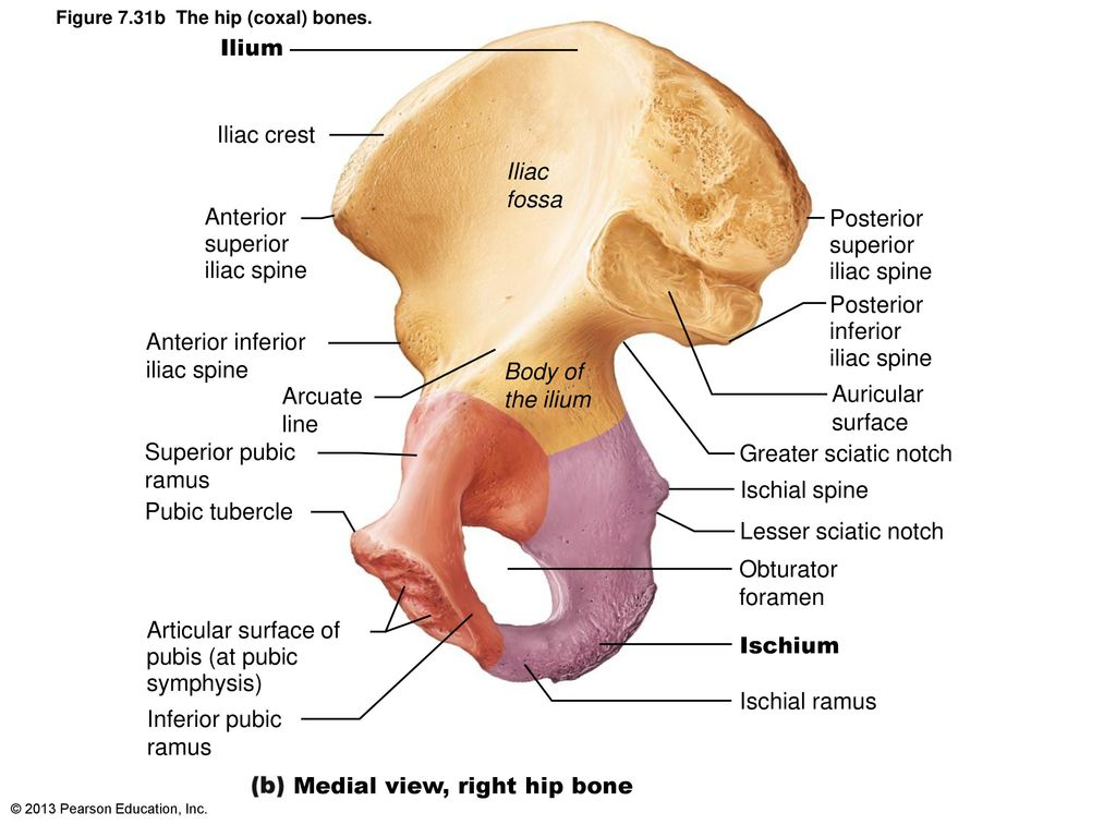 Fine Right Iliac Crest Inspiration - Anatomy and Physiology Tissue ...