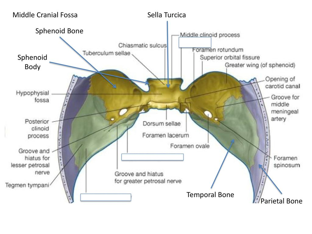 Amazing Location Of Sphenoid Bone Ornament - Anatomy Ideas - yunoki.info