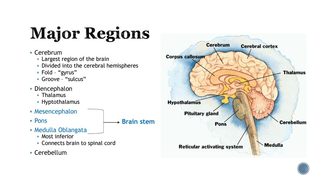 Anatomy of the Brain. - ppt download