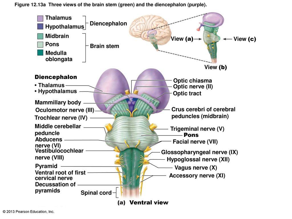 Funky Midbrain Anatomy Mri Elaboration - Anatomy and Physiology ...