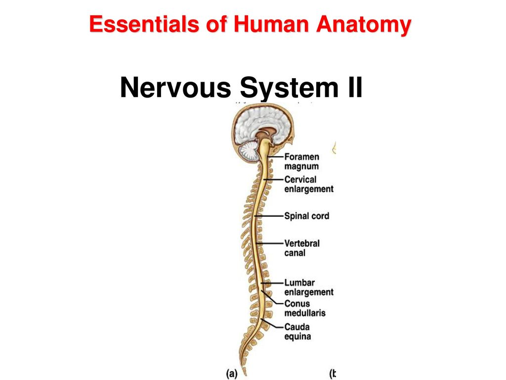 Fancy Essentials Of Human Anatomy And Physiology Powerpoints ...