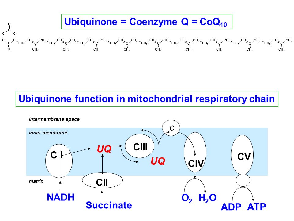 Ubiquinone function in mitochondrial respiratory chain