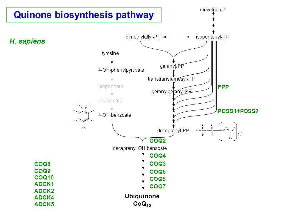 Quinone biosynthesis pathway
