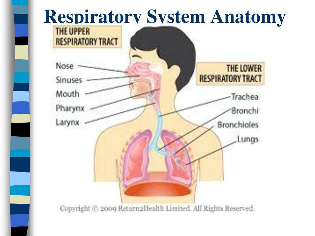 Nice Lower Respiratory System Anatomy Illustration - Anatomy and ...