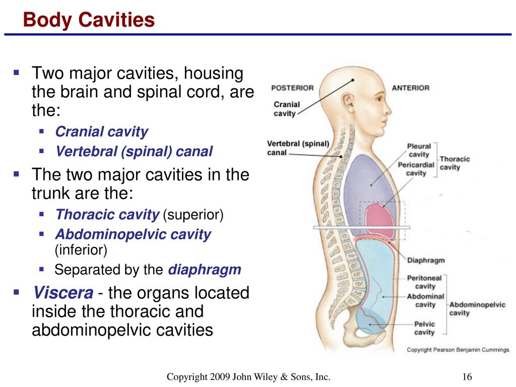 Excepcional Wiley Principles Of Anatomy And Physiology Modelo ...