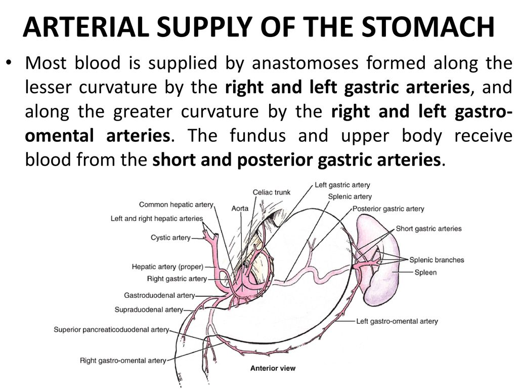 Nice Right Hepatic Artery Anatomy Embellishment - Anatomy and ...