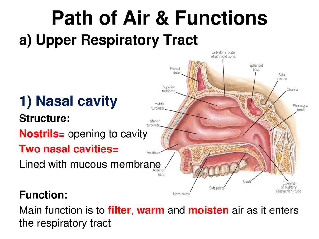 Luxury Functions Of Nasal Cavity Image - Human Anatomy Images ...