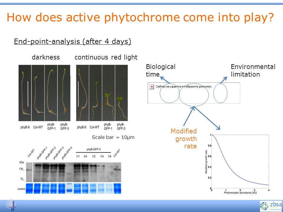 How does active phytochrome come into play