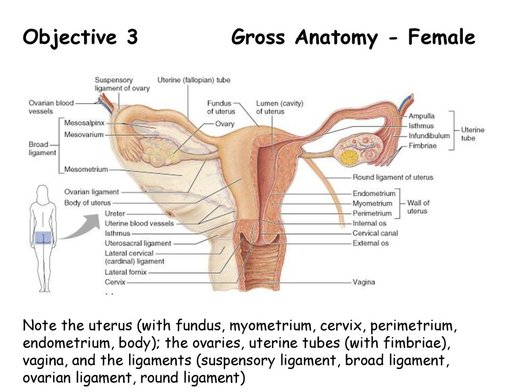 Uterus And Cervix Anatomy Images - human body anatomy