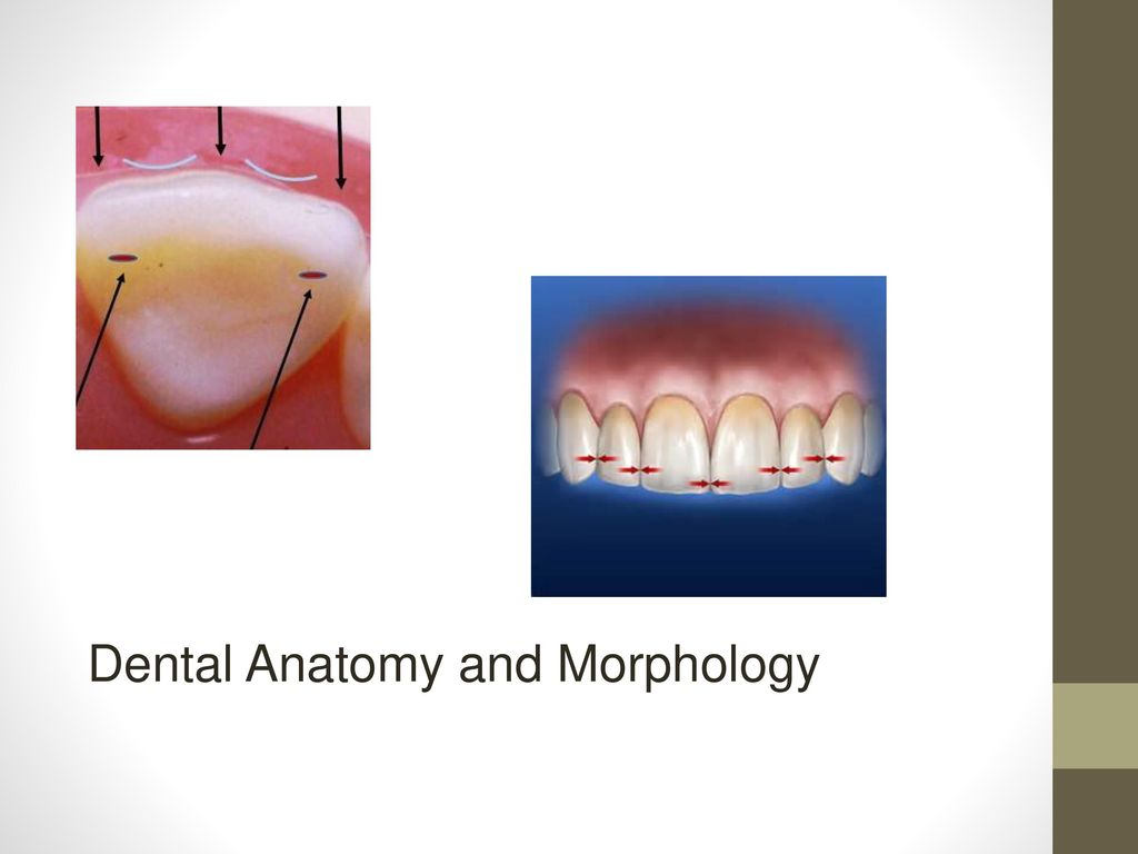 Ziemlich Dental Anatomy Physiology And Occlusion Ideen - Physiologie ...