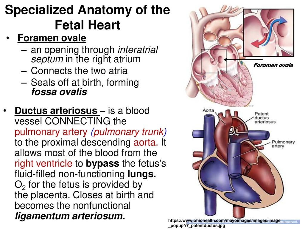 Famous Fetal Heart Anatomy Picture Collection - Physiology Of Human ...