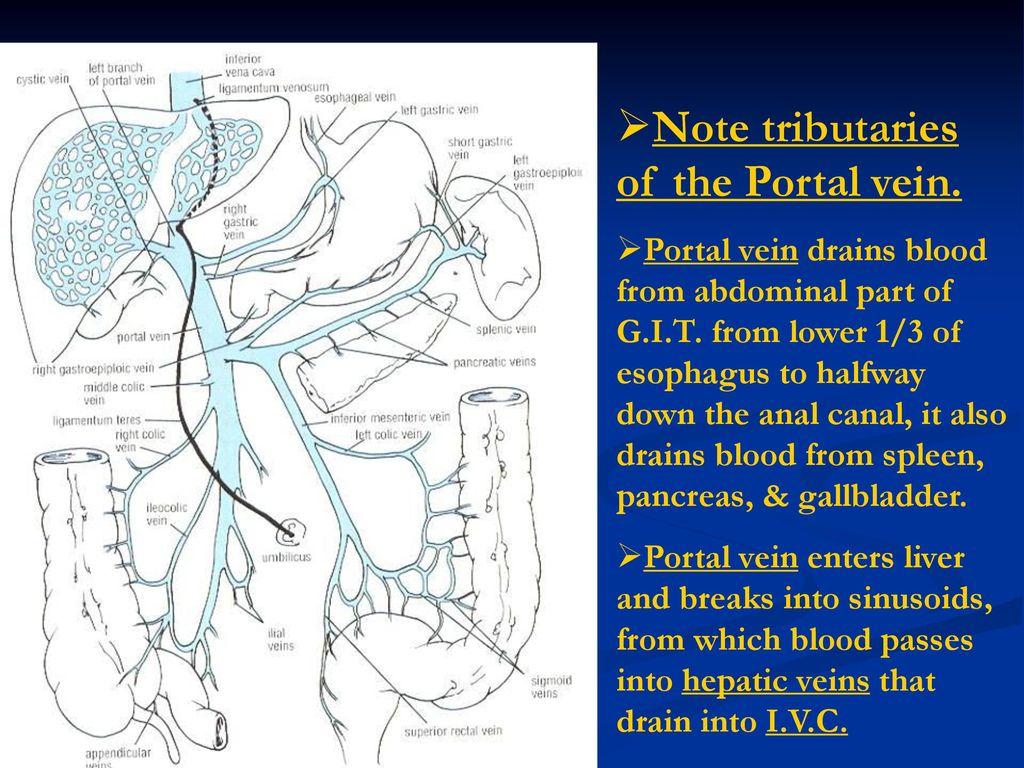 Perfect Anatomy Inferior Vena Cava Pattern Anatomy And Physiology