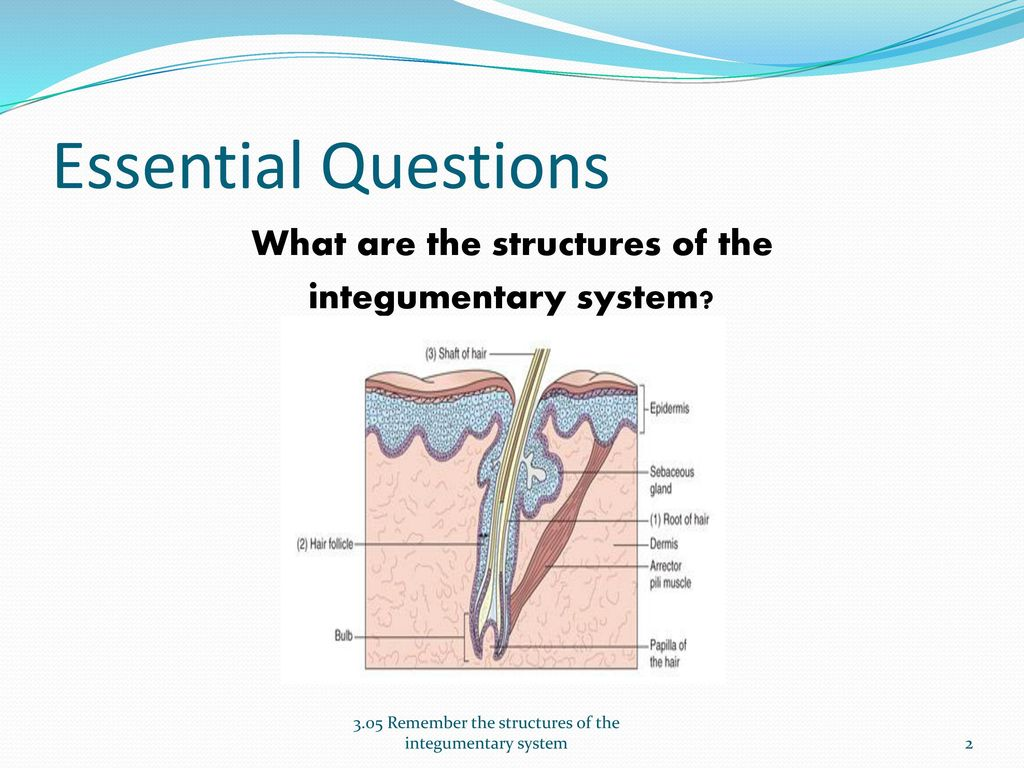 Fancy Picture Of Integumentary System Frieze - Anatomy Ideas ...