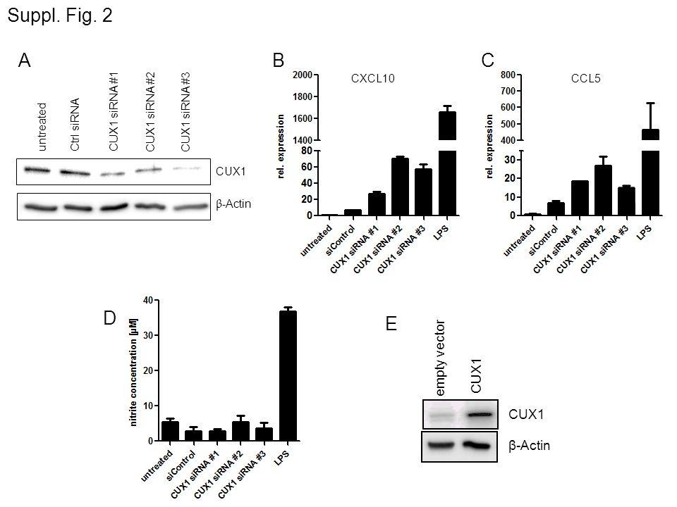 Suppl. Fig. 2 A B C D E empty vector CUX1 β-Actin CUX1 β-Actin