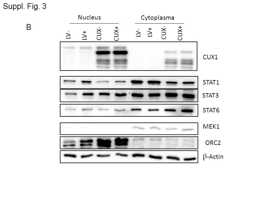 Suppl. Fig. 3 B Nucleus Cytoplasma CUX- CUX+ LV- LV+ LV- CUX- CUX+ LV+