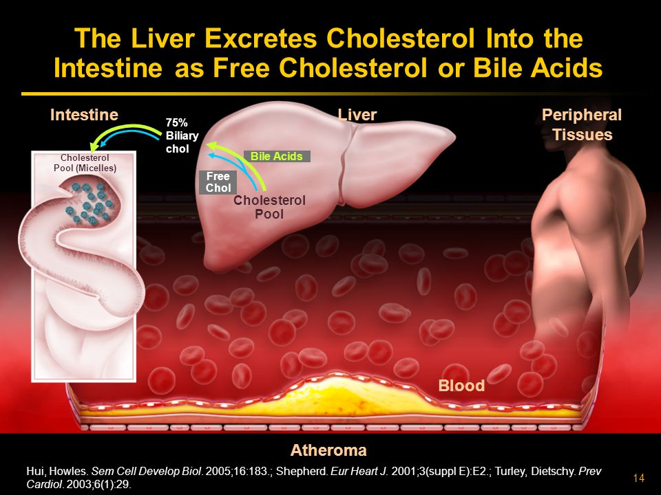 The Liver Excretes Cholesterol Into the Intestine as Free Cholesterol or Bile Acids