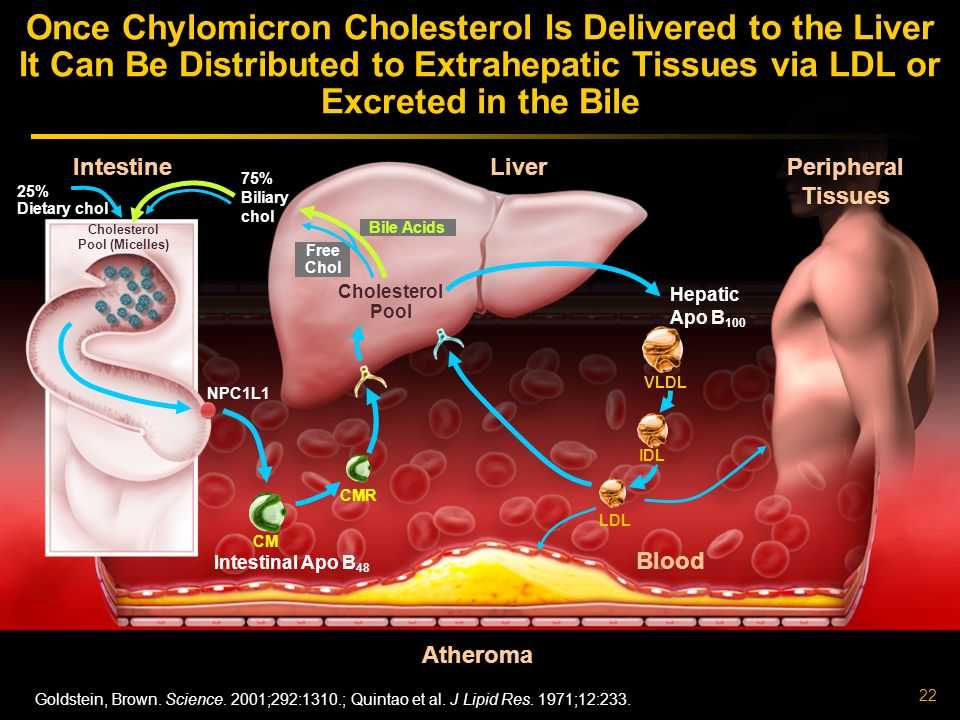 Once Chylomicron Cholesterol Is Delivered to the Liver It Can Be Distributed to Extrahepatic Tissues via LDL or Excreted in the Bile