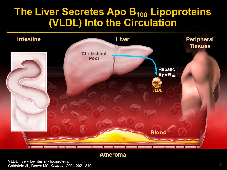 The Liver Secretes Apo B100 Lipoproteins (VLDL) Into the Circulation