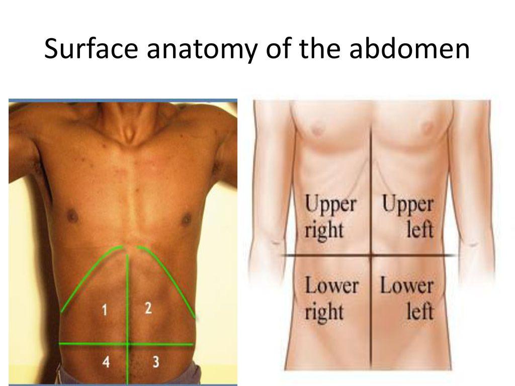 Surface Anatomy Of Abdomen Images - human anatomy diagram organs