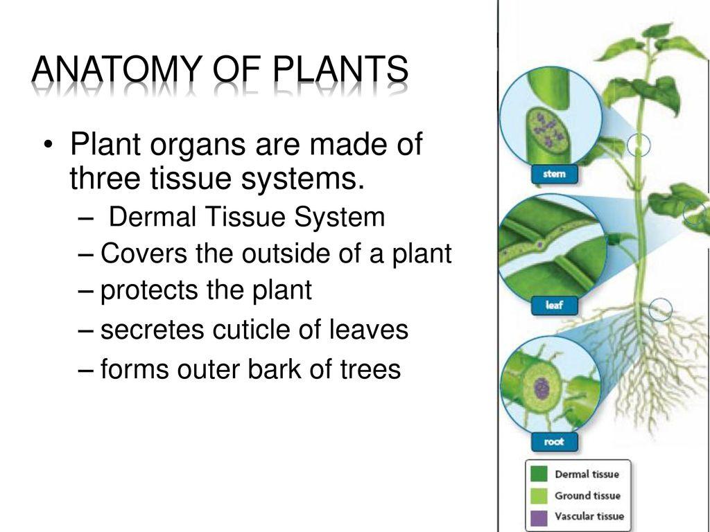 Exelent Plant Anatomy Ppt Frieze - Anatomy Ideas - yunoki.info
