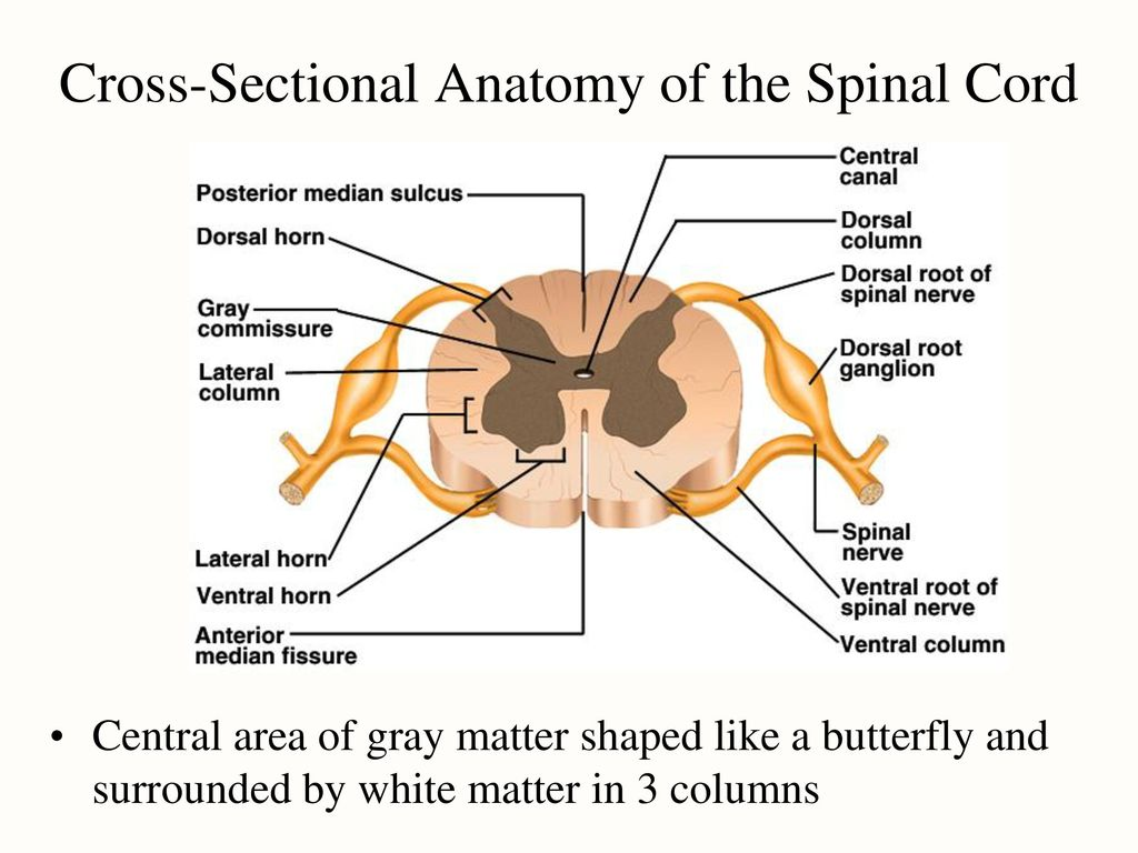 Describe the cross sectional anatomy of spinal cord 5103680 ...