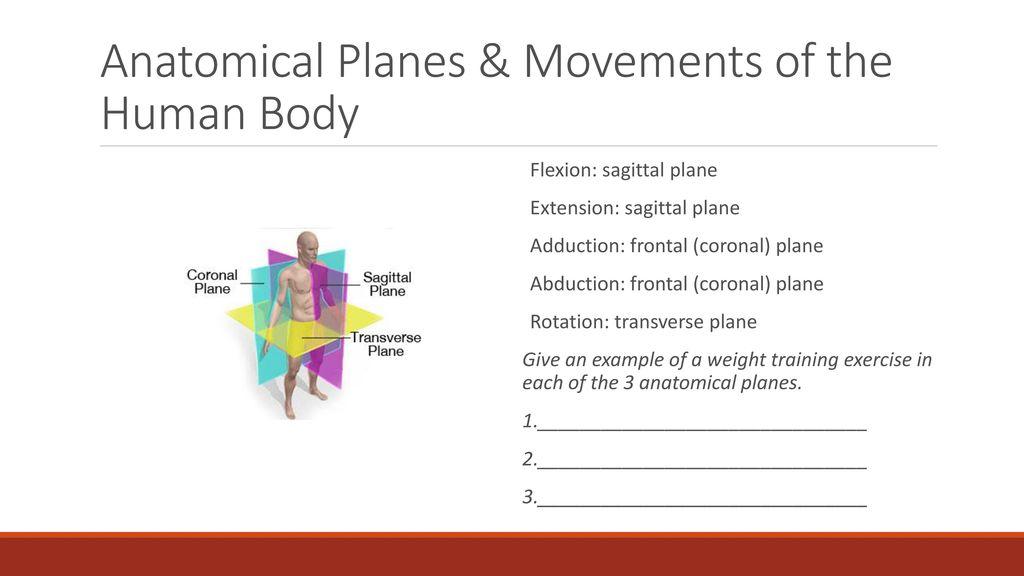 Modern Sagittal Plane Anatomy Collection Anatomy And Physiology