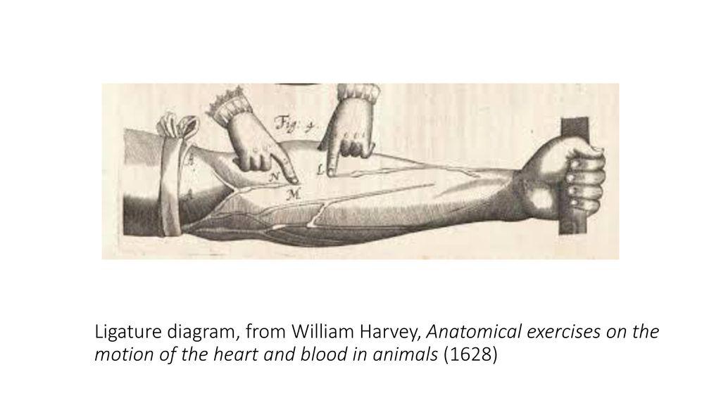 Schön William Harvey Anatomie Galerie - Anatomie Von Menschlichen ...