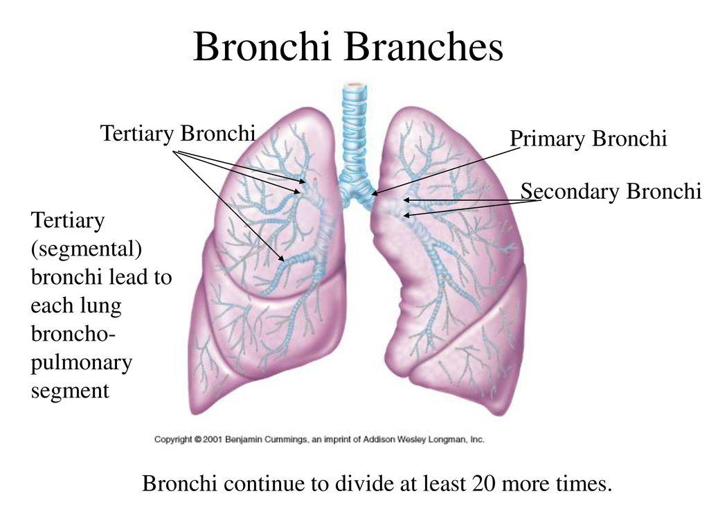 Old Fashioned Segmental Anatomy Lung Adornment - Internal organs ...