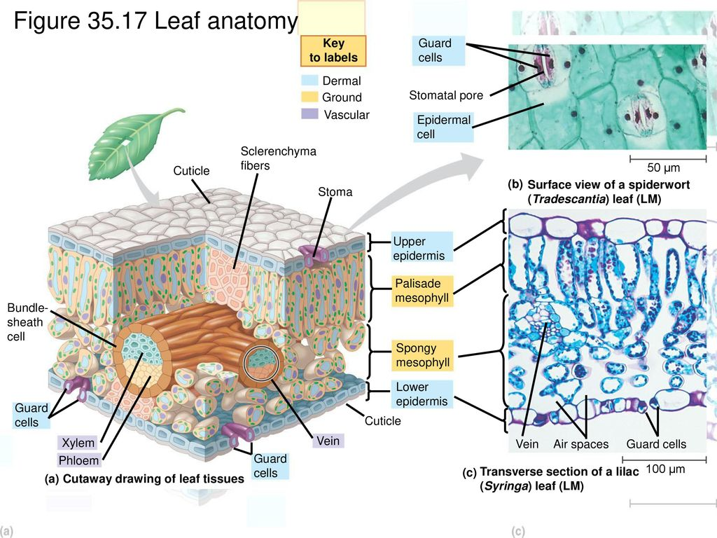 Magnificent Leaf Tissue Anatomy Gallery - Physiology Of Human Body ...