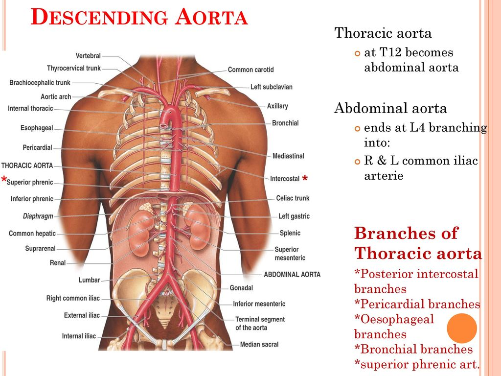 Enchanting Branches Of Aorta Illustration Anatomy And Physiology