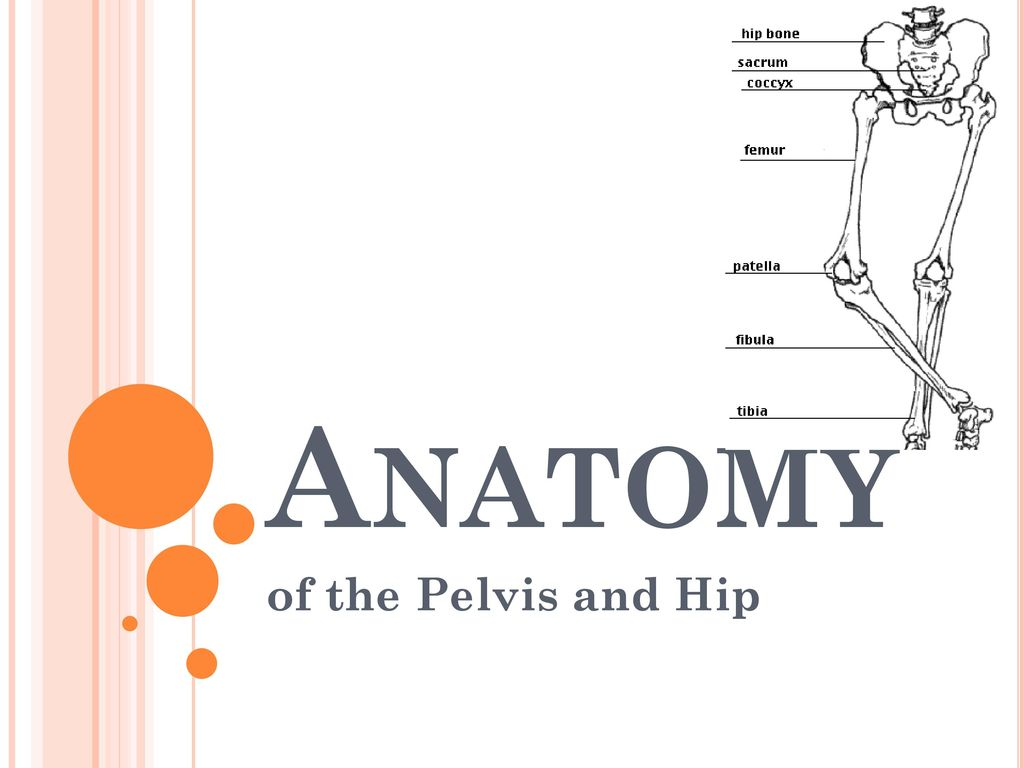 Funky Anatomy Of Hip And Pelvis Image Collection - Anatomy and ...