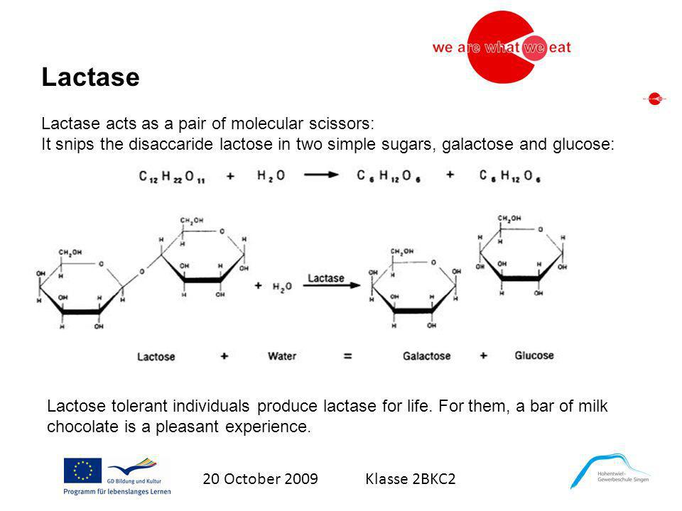 Lactase Lactase acts as a pair of molecular scissors: