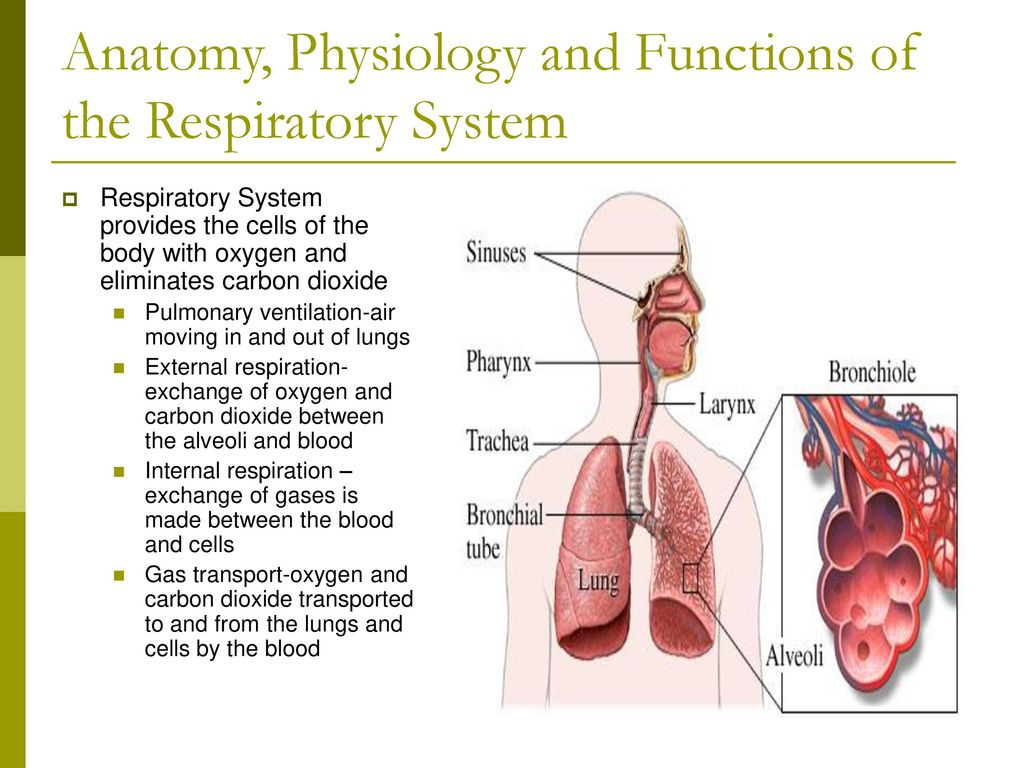 Fancy Anatomy And Physiology Of Respiratory System Crest - Anatomy ...