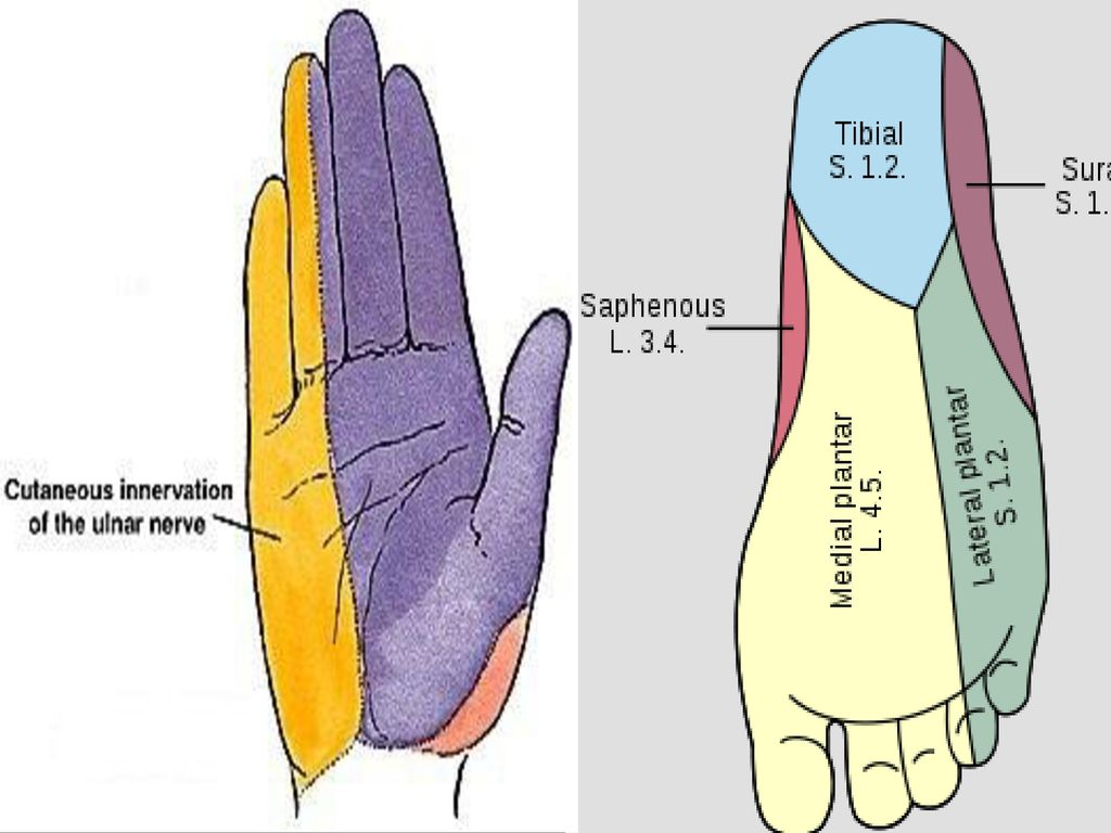 Dorable Lateral Plantar Nerve Gift - Physiology Of Human Body Images ...
