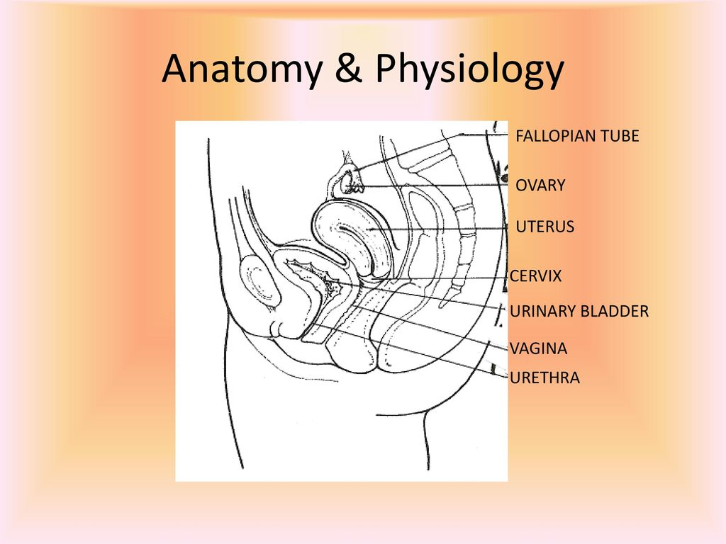 Modern Anatomy Of Cervix And Uterus Adornment - Anatomy and ...