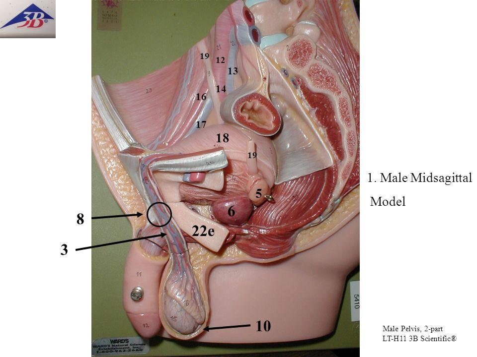 6 8 22e 3 10 18 1. Male Midsagittal Model 5 13 14 16 17 19 12 19