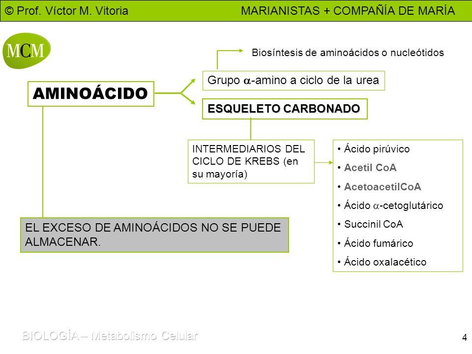 AMINOÁCIDO Grupo a-amino a ciclo de la urea ESQUELETO CARBONADO