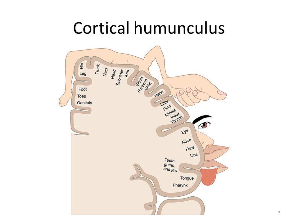 Cortical humunculus