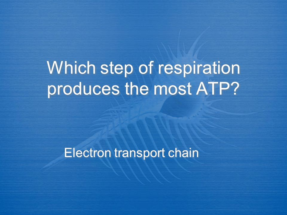 Which step of respiration produces the most ATP