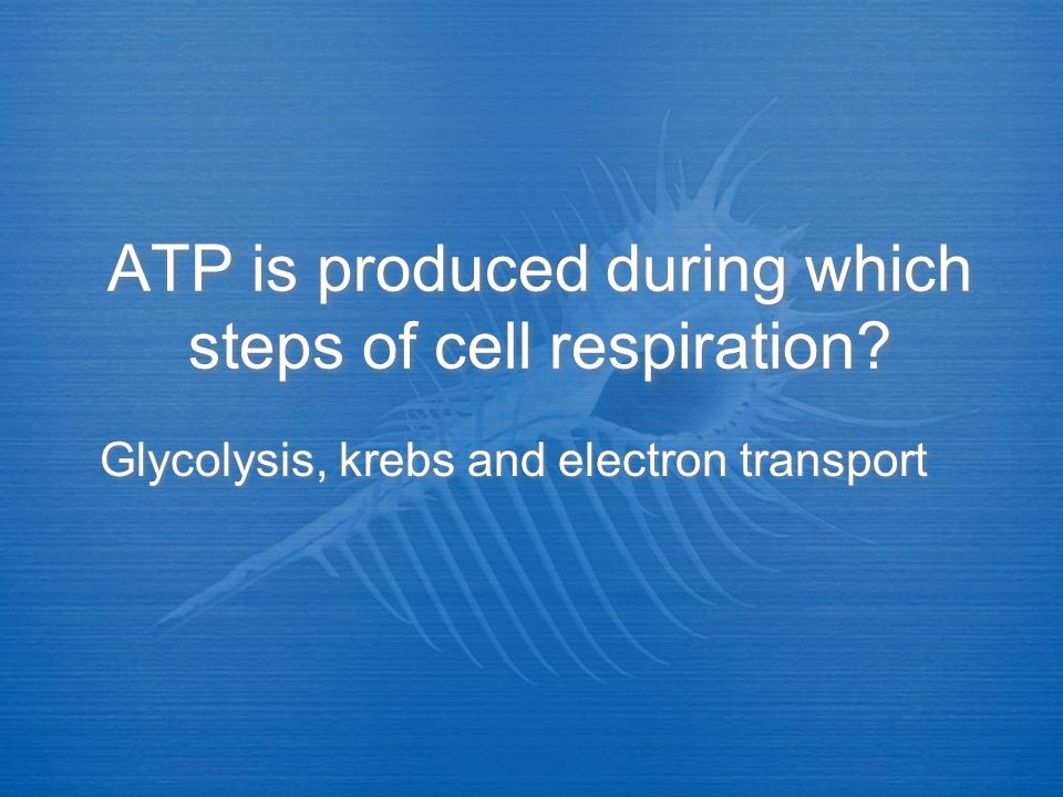 ATP is produced during which steps of cell respiration