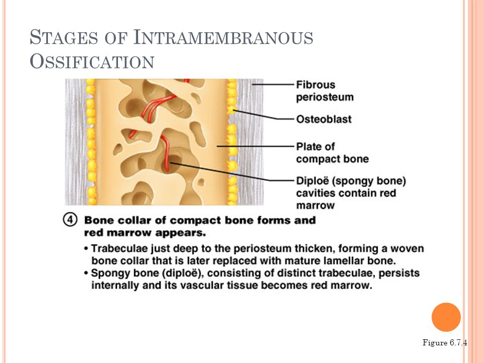 Stages of Intramembranous Ossification