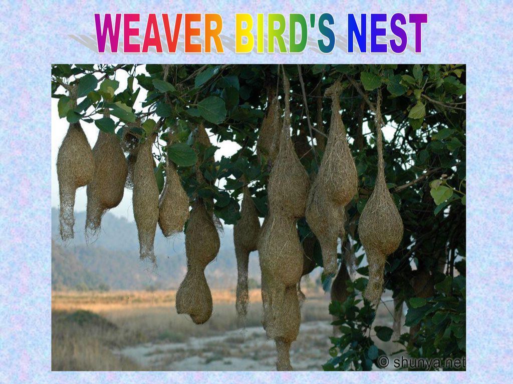 WEAVER BIRD S NEST