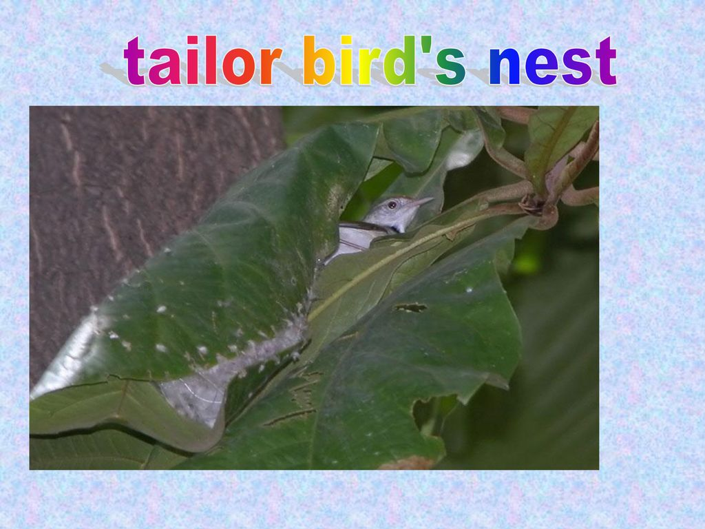 tailor bird s nest
