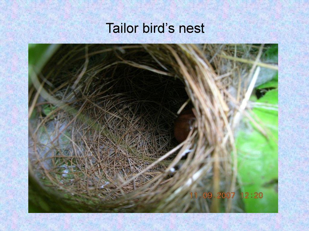 Tailor bird's nest
