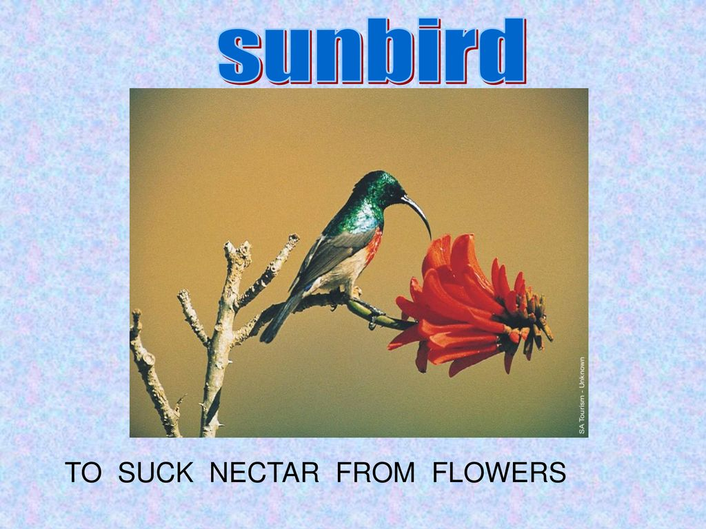 sunbird TO SUCK NECTAR FROM FLOWERS