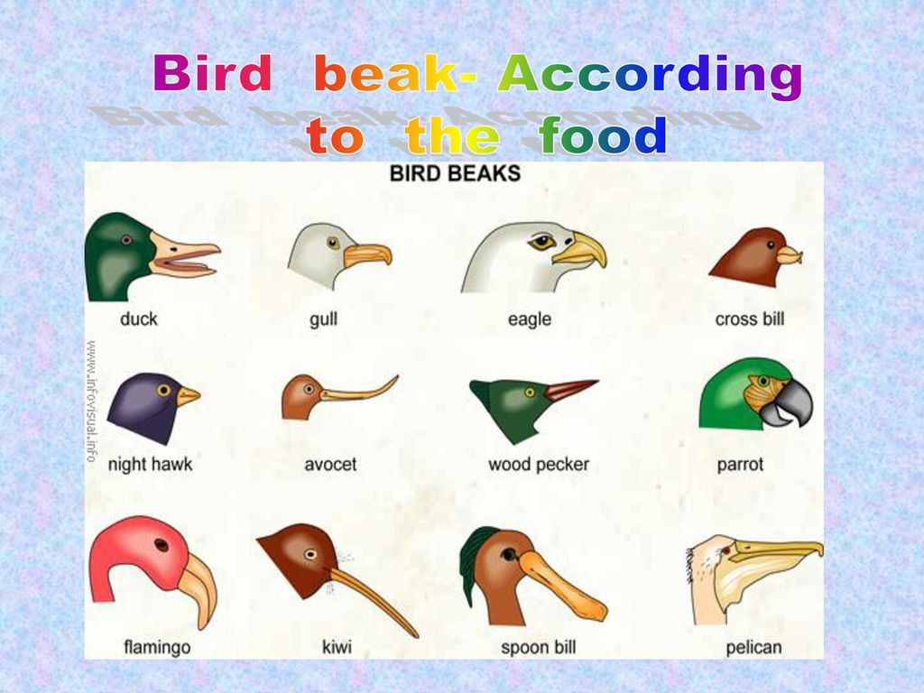 Bird beak- According to the food